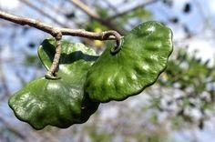 Earpod Tree Enterolobium cyclocarpum