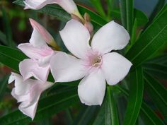 Oleander, I love visiting Red Bluff, CA, where you see a lot of oleander.