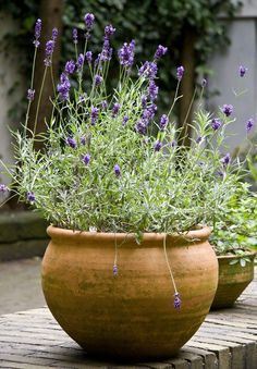 Outdoor Landscaping, Outdoor Plants, Back Gardens, Small Gardens, Lavender Potted Plant, Gardening Photography, Clay Jar, Lavender Cottage, Italian Garden
