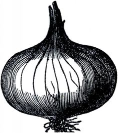 Public Domain Onion Image - The Graphics Fairy