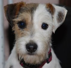 parson russell terrier - Google Search