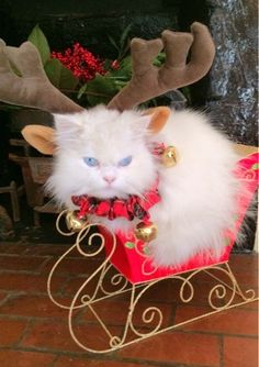 best=PetsLady Pick Cute Christmas Sleigh Cat Of The Day Meet Dresses Christmas Kitten, Noel Christmas, Christmas Animals, Crazy Cat Lady, Crazy Cats, Kittens Cutest, Cats And Kittens, Siamese Cats, I Love Cats