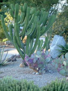Cacti at Pitzer College, A Growing Obsession