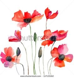 Poppy Stock Photos, Images, & Pictures   Shutterstock