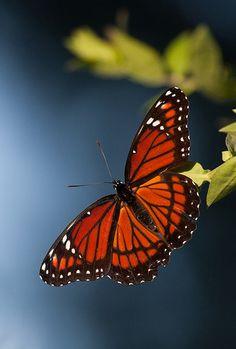 Viceroy    Viceroy Butterfly (Limenitis archippus), Circle B Bar Reserve, Lakeland, Florida