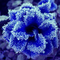 Blue frozen flower / niebieski zamarznięty kwiat