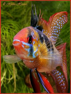 This is not a tetra, this is a Cichlid