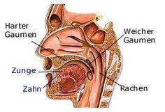 Rachen | Anatomie - gesundheit.de