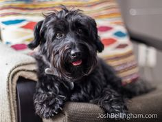 21 Best Scottie Mix Images Scottie Scottish Terrier Dogs