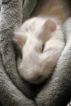 Cute little guinea pig, petit cochon d'inde mignon