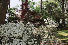 Tyler Rose Garden(White Azaleas)