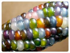 Glass Gem Heirloom Corn. Wow. Beautiful and edible. I've never heard of it before.
