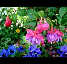 Fushia Plant w/ blue pansies.