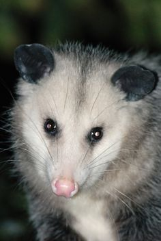 Possum in California_ USA