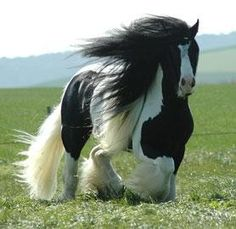 *Gypsy Cob He is Stunning! Probably one of the most beautiful horses I've ever seen. Most Beautiful Horses, All The Pretty Horses, Horse Pictures, Animal Pictures, Beautiful Creatures, Animals Beautiful, Animals And Pets, Cute Animals, Gypsy Horse