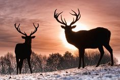 Two Reindeers In Sunset WallPaper HD - http://imashon.com/w/two-reindeers-in-sunset-wallpaper-hd.html