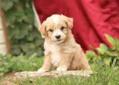 New Puppy, Puppy Love, Puppies For Sale, Dogs And Puppies, Morkie Puppies, Lancaster Puppies, Animals Dog, Mans Best Friend, Kisses