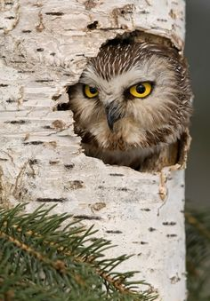 Northern Saw Whet Owl by Mike Lentz
