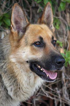 German Shepherd Rescue, German Shepherds, Doggies, Dogs And Puppies, Puppy Eyes, Mans Best Friend, Mammals, Walks, Dog Breeds