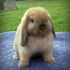 Holland Lop Bunny that looks almost exactly like mine but my bunny's fur is a darker brown that this ones