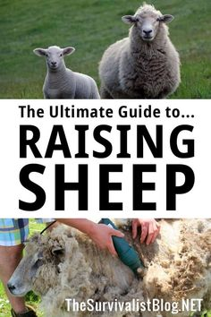 Raising your own sheep can be a challenge, but not necessarily so if you take it one step at a time. Sheep Pen, Pet Sheep, Sheep Farm, Babydoll Sheep, Sheep House, Raising Farm Animals, Sheep Breeds, Farm Business, Homestead Survival