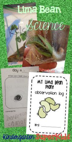 Lima Bean Science! Lima Bean Plant Observation Logs for Kindergarten, 1st Grade, or 2nd Grade