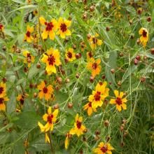 Best Annuals for Problem Clay Soils: Coreopsis tinctoria — Tickseed Bog Garden, Garden Plants, Missouri Botanical Garden, Botanical Gardens, Invasive Plants, Clay Soil, Annual Flowers, Tall Plants, Plant Design