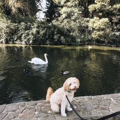 When you finally line up the perfect shot but #swan #photobomb  by girlnamedgeorge