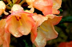 Thank you for taking a look at one of our several hundred Hybrid Rhododendrons we have for sale on Etsy and our website! At RhododendronsDirect.com, all we do is Rhododendrons.    Product Description     Bloom Color: Orange/Yellow    Bloom Season: Early to Mid Season    Plant Height(potential in 10 years): Three Feet    Hardy to:  -5    Rhododendron of the Year:  2010 Northwest    Container Size/Age:  One Gallon Containers - These rhododendrons come in various plant sizes and will be rooted…