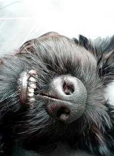 my dog :0)) giant schnauzer--yep, thats the big ole giant schnauzer nose!