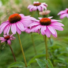 Easy to Grow Perennials  With hundreds of perennials to choose from, picking the right ones for your backyard can sometimes be a challenge, especially if you're a new gardener. To simplify matters, we've put together this list of 25 perennial flowers that are a snap to grow. Check out these easy-to-grow perennials and dig in!