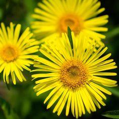 35CM POT / BORDER  DORONICUM LITTLE LEO Doronicum caucasicum 'Little Leo' - Cottage Garden Plants - Van Meuwen