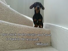 Wilson our 5 month old mini dachshund has figured out how to climb up the stairs…figuring out how to get down is not so easy!