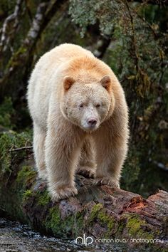 "The Kermode bear, also known as a ""spirit bear,"" is a subspecies of the North American Black Bear and lives in the central and north coast of British Columbia, Canada. About 1/10 of their population has white or cream-coloured coats.  by Nathan Lovas"