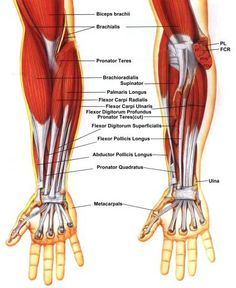 arm muscles models and google on pinterest : arm muscle diagram - findchart.co