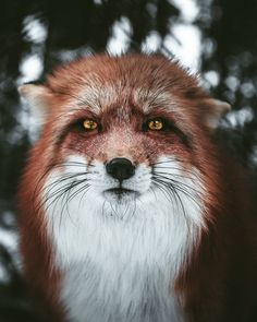 Photo by Daniel Weissenhorn - wildgeography - fox - renard - nature Nature Animals, Animals And Pets, Cute Animals, Nature Nature, Wildlife Nature, Baby Animals, Beautiful Creatures, Animals Beautiful, Wildlife Fotografie