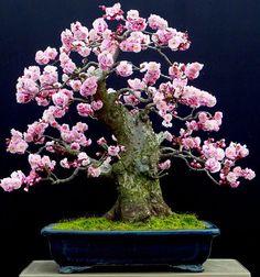 ancient bonsai tree ... cherry tree full of blossomps ... Bonsai Empire Wonderful. By Dario Ascoli