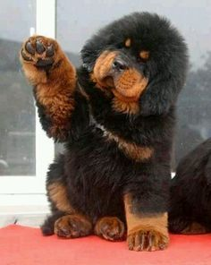 Tibetian Mastiff puppy Goodness!  How darling is this?