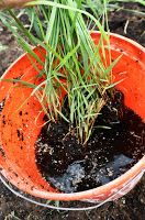 grounded design by Thomas Rainer: The Best Planting Tip I Ever Received ---pic label: Here I'm soaking the Panicum in compost tea prior to planting.