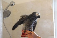 How to Shower Your Bird  Published on Aug 11, 2015