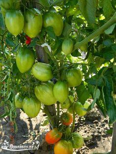 Чтобы было больше помидоров, чем зелени на них! - Огородко
