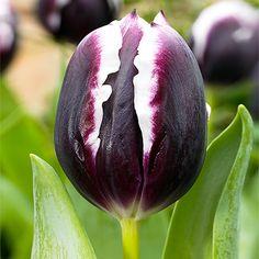 Tulipán 'Premio mayor'.