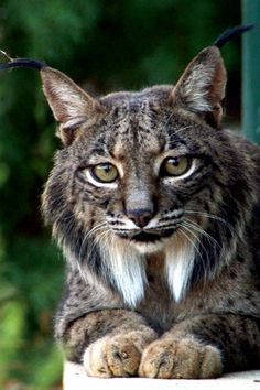 Azahar, one of the Iberian Lynx (Lynx pardinus), involved in the conservation program developed by both Iberian countries in an attempt to prevent its extinction.