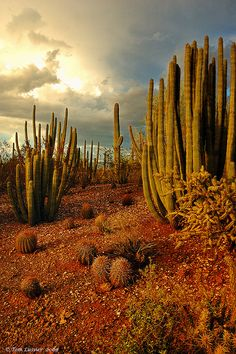 Organ pipe and Saguaros