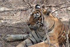 Machali-Ranthambore-tigress.jpg (960×640)
