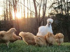 Coccidiosis: What Backyard Chicken Keepers Should Know by The Chicken Chick.