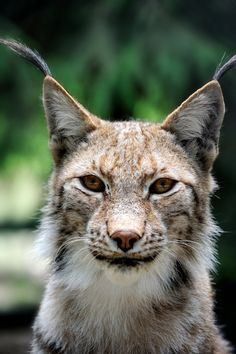 Eye Contact with Lynx by Manu34 on DeviantArt