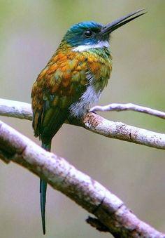 ブロンズキリハシ  Bronzy jacamar (Galbula leucogastra)