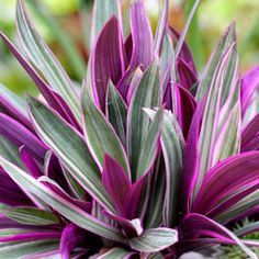 Buy rhoeo spathacea tricolor, rhoeo variegated - plant now from Indias largest online plant nursery at best price. Get a Free plastic pot with rhoeo spathacea tricolor, r Pool Plants, Tropical Plants, Potted Plants, Garden Plants, House Plants, Tropical Gardens, Purple Plants, Garden Bed, Moses In The Cradle