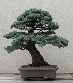 WUHAIMEI-Cedrus-deodara-seeds-Cedrus-Deodara-font-b-Conifer-b-font-Indoor-Plant-bonsai-tree-seeds.jpg (522×599)
